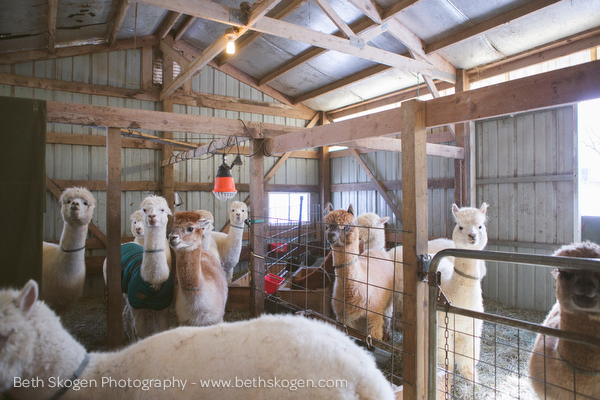 Sauk Creek Alpacas